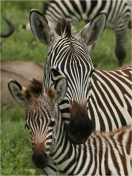 Zebra baby and mother - photo#25